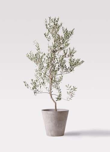 観葉植物 オリーブの木 10号 レッチーノ アートストーン ラウンド グレー 付き