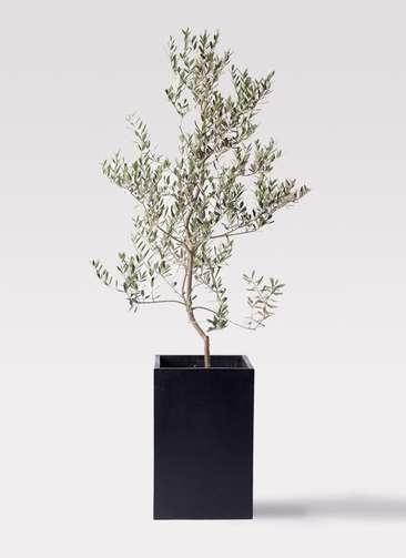 観葉植物 オリーブの木 10号 レッチーノ セドナロング 墨 付き