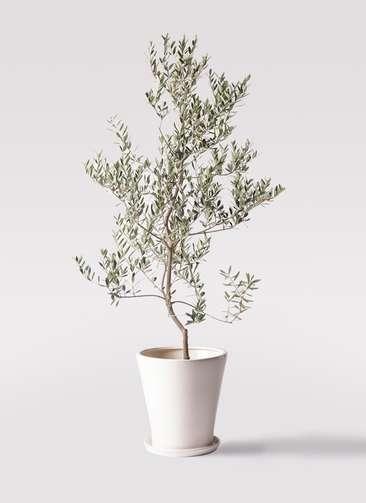 観葉植物 オリーブの木 10号 レッチーノ サブリナ 白 付き