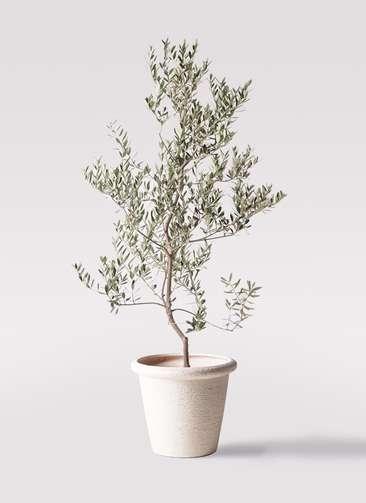 観葉植物 オリーブの木 10号 レッチーノ ビアスリムス 白 付き
