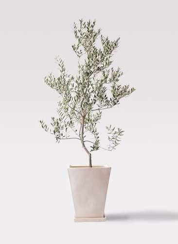 観葉植物 オリーブの木 10号 レッチーノ スクエアハット 白 付き