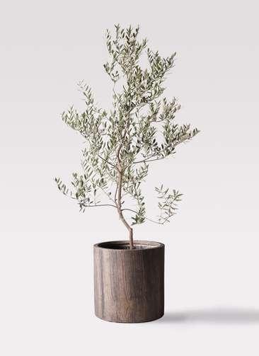 観葉植物 オリーブの木 10号 レッチーノ アルファシリンダープランター 付き