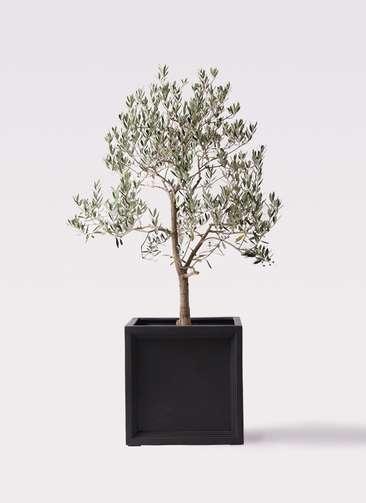 観葉植物 オリーブの木 10号 ピッチョリーネ ブリティッシュキューブ 付き