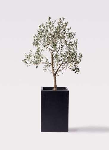 観葉植物 オリーブの木 10号 ピッチョリーネ セドナロング 墨 付き