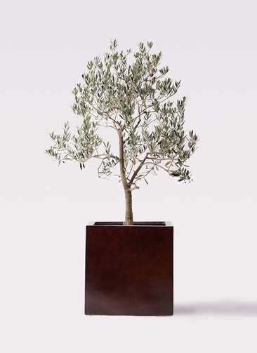 観葉植物 オリーブの木 10号 ピッチョリーネ MOKU キューブ 付き