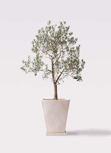観葉植物 オリーブの木 10号 ピッチョリーネ スクエアハット 白 付き