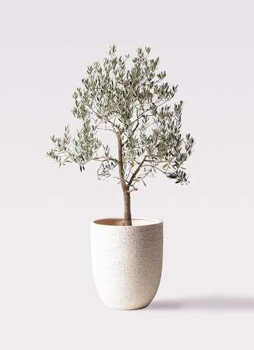 観葉植物 オリーブの木 10号 ピッチョリーネ ビアスアルトエッグ 白 付き