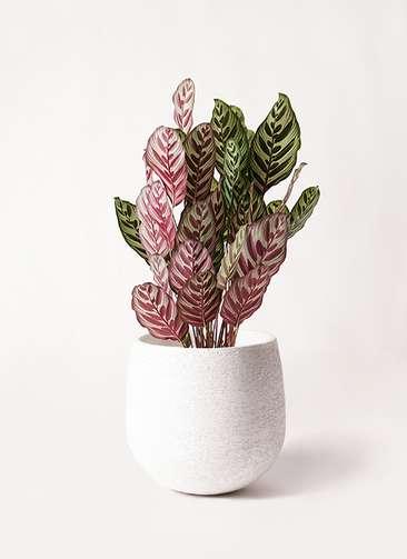 観葉植物 カラテア マコヤナ 6号 エコストーンwhite 付き