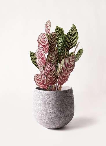 観葉植物 カラテア マコヤナ 6号 エコストーンGray 付き