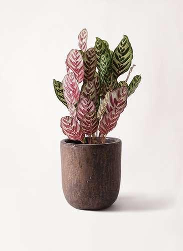 観葉植物 カラテア マコヤナ 6号 ビトロ ウーヌム コッパー釉 付き