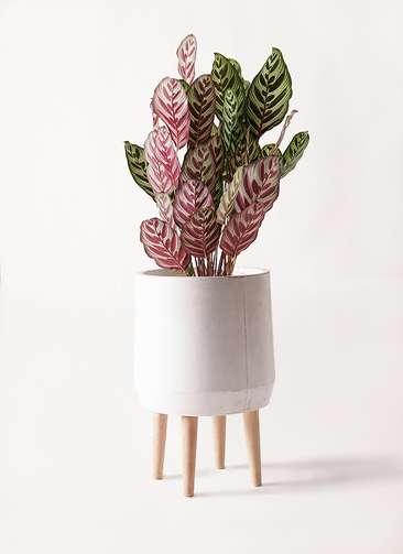 観葉植物 カラテア マコヤナ 6号 ファイバークレイ white 付き