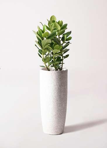観葉植物 クルシア ロゼア プリンセス 6号 エコストーントールタイプ white 付き