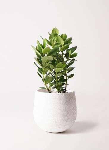 観葉植物 クルシア ロゼア プリンセス 6号 エコストーンwhite 付き
