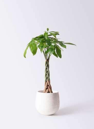 観葉植物 パキラ 6号 ねじり エコストーンwhite 付き