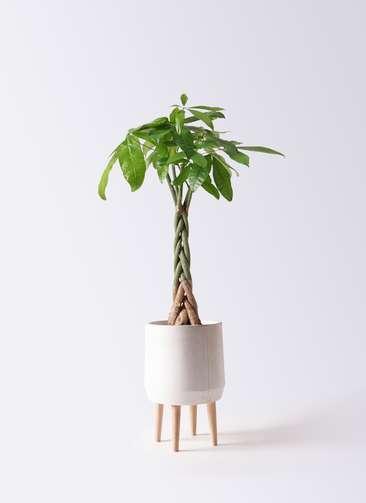 観葉植物 パキラ 6号 ねじり ファイバークレイ white 付き