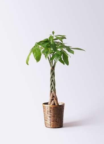 観葉植物 パキラ 6号 ねじり 竹バスケット 付き