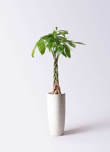 観葉植物 パキラ 6号 ねじり エコストーントールタイプ white 付き