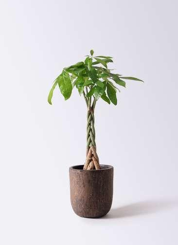 観葉植物 パキラ 6号 ねじり ビトロ ウーヌム コッパー釉 付き