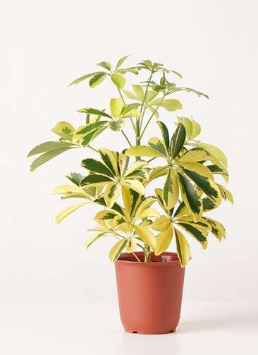 観葉植物 カポック(シェフレラ) 4号 斑入り プラスチック鉢