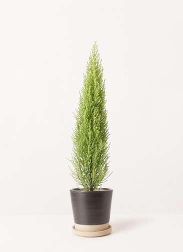 観葉植物 ゴールドクレスト 4号 ノーマル マット グレーズ テラコッタ ブラック 付き