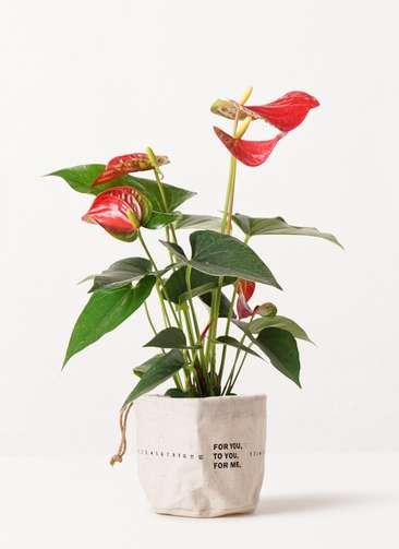 観葉植物 アンスリウム 4号 ダコタ ラップサック 付き