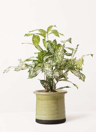 観葉植物 ドラセナ ゴッドセフィアーナ 4号 アンティークテラコッタ グリーン 付き