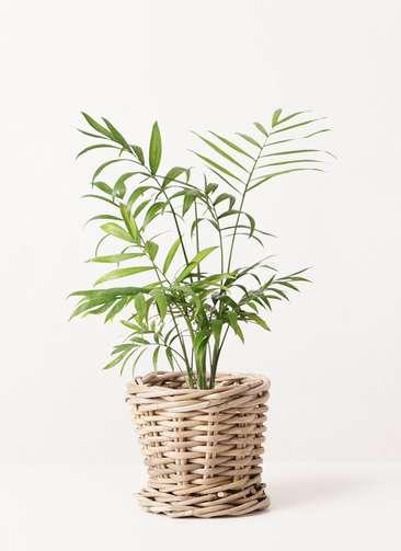 観葉植物 テーブルヤシ 4号 グレイラタン 付き