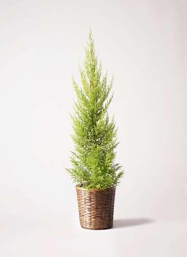 観葉植物 ゴールドクレスト 6号 ノーマル 竹バスケット 付き