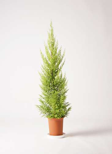 観葉植物 ゴールドクレスト 6号 ノーマル プラスチック鉢