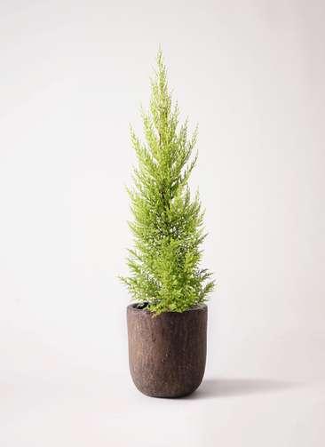 観葉植物 ゴールドクレスト 6号 ノーマル ビトロ ウーヌム コッパー釉 付き