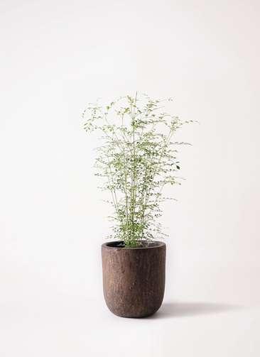 観葉植物 シマトネリコ 6号 ビトロ ウーヌム コッパー釉 付き
