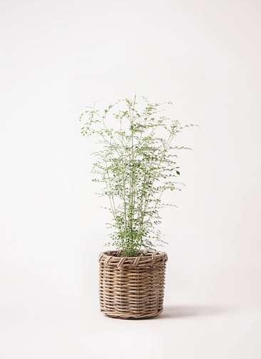 観葉植物 シマトネリコ 6号 グレイラタン 付き