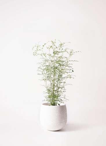観葉植物 シマトネリコ 6号 エコストーンwhite 付き
