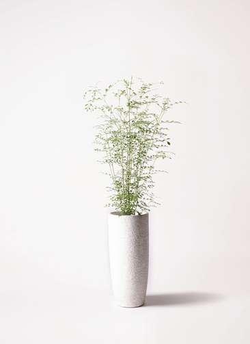 観葉植物 シマトネリコ 6号 エコストーントールタイプ white 付き
