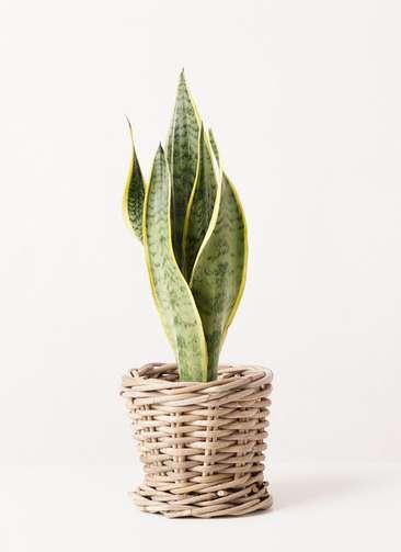 観葉植物 サンスベリア 4号 トラノオ グレイラタン 付き