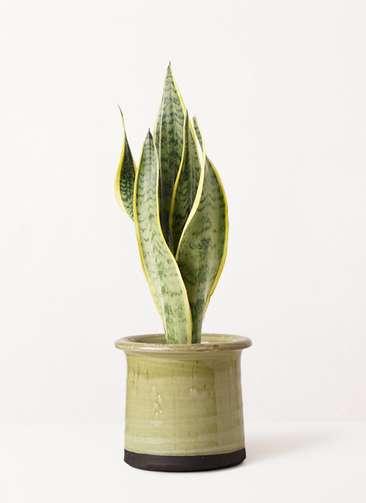 観葉植物 サンスベリア 4号 トラノオ アンティークテラコッタ グリーン 付き