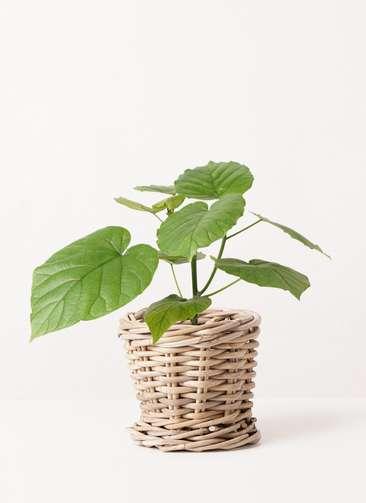 観葉植物 フィカス ウンベラータ 4号 ノーマル グレイラタン 付き