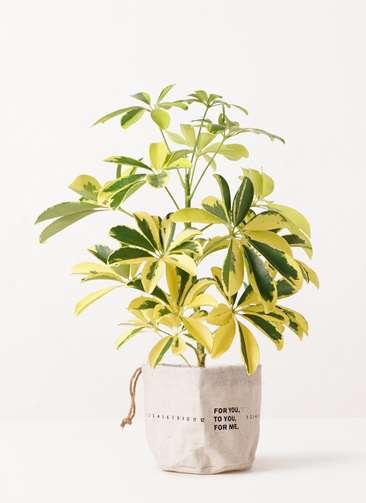 観葉植物 カポック(シェフレラ) 4号 斑入り ラップサック 付き