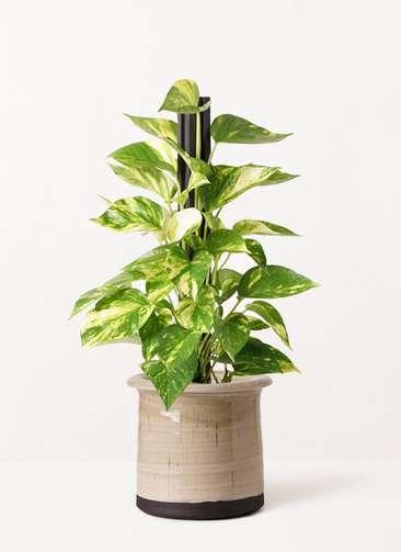 観葉植物 ポトス 4号 アンティークテラコッタ グレイ 付き