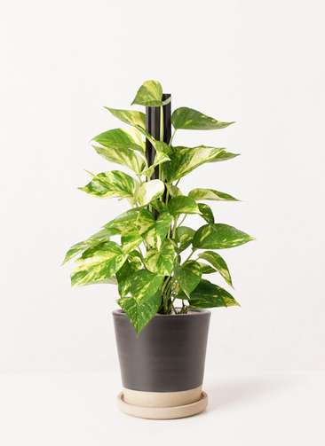 観葉植物 ポトス 4号 マット グレーズ テラコッタ ブラック 付き