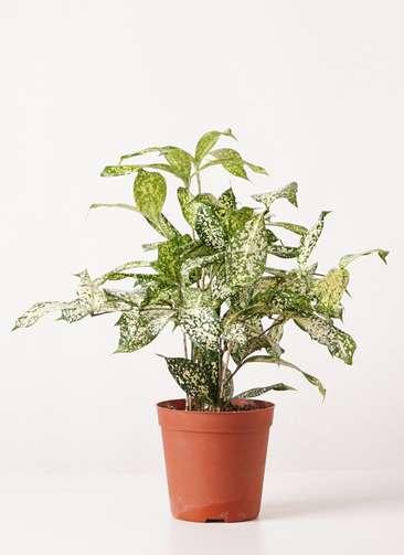 観葉植物 ドラセナ ゴッドセフィアーナ 4号 プラスチック鉢