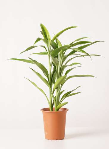 観葉植物 ドラセナ サンデリアーナ ゴールド 4号 プラスチック鉢