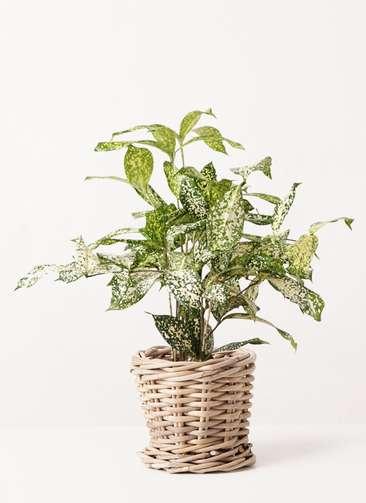 観葉植物 ドラセナ ゴッドセフィアーナ 4号 グレイラタン 付き