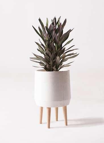 観葉植物 コルディリネ (コルジリネ) サンゴ 6号 ファイバークレイ white 付き