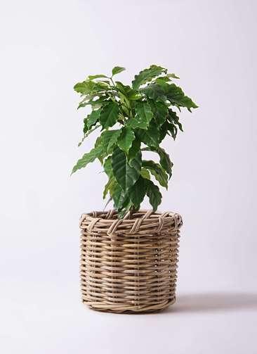 観葉植物 コーヒーの木 6号 グレイラタン 付き