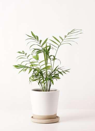 観葉植物 テーブルヤシ 4号 マット グレーズ テラコッタ ホワイト 付き