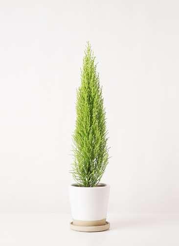 観葉植物 ゴールドクレスト 4号 ノーマル マット グレーズ テラコッタ ホワイト 付き