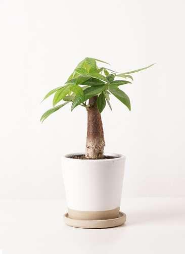 観葉植物 パキラ 4号 朴 マット グレーズ テラコッタ ホワイト 付き