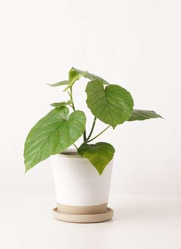 観葉植物 フィカス ウンベラータ 4号 ノーマル マット グレーズ テラコッタ ホワイト 付き