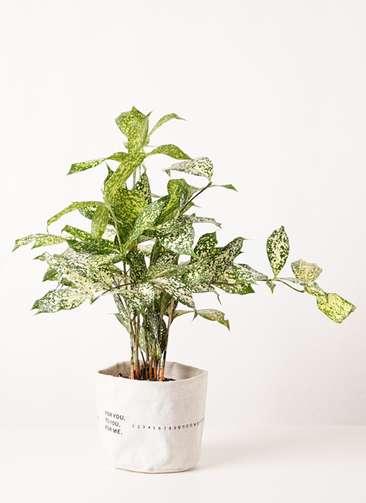 観葉植物 ドラセナ ゴッドセフィアーナ 4号 ラップサック 付き